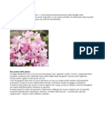 Saponaria Officinalis