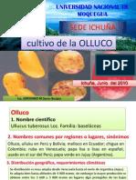 05 Cultivos de OLLUCO