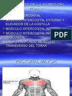 MUSCULOS DE LA PARED DEL TÓRAX