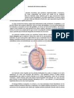 Anatomía Del Sistema Endocrino (1)