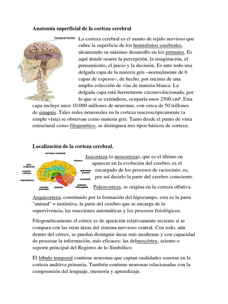 Anatomía Superficial de La Corteza Cerebral