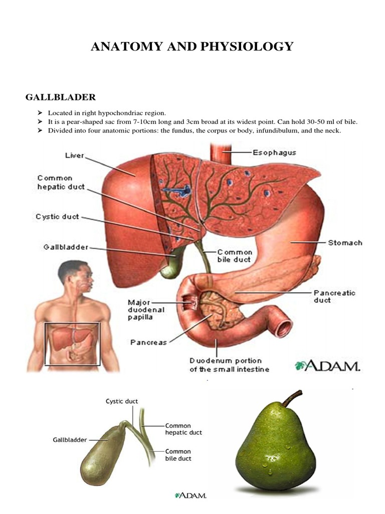 Anatomy and Physiology Gallblader | Gallbladder | Liver
