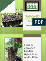 Caña de Azucar / Sugar Cane