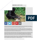 A Group of Chimpanzees Seem to Have Mastered Fire