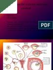 Corteza Cerebral (3)