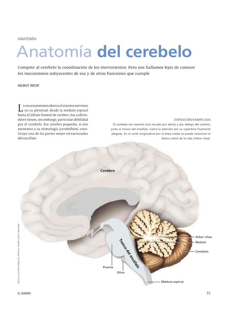Anatomía Del Cerebelo