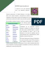 138365624 Cultivo Del Rocoto Capsicum Pubescen