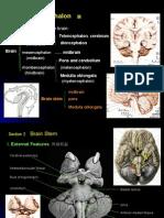 Brain stem 1