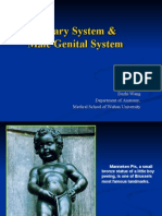 urinary system and male genital system