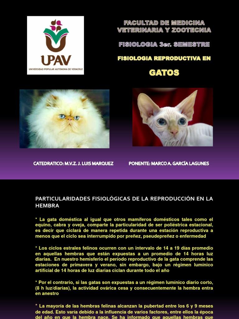 Fisiologia Reproductiva Gatos