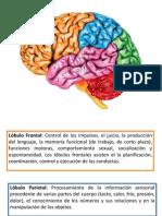 funcioner cerebrales