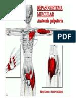 anatomia muscular + palpatoria