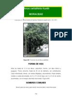 Morus celtidifolia