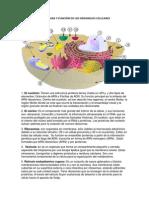 ESTRUCTURA Y FUNCIÓN DE LOS ORGANELOS CELULARES.docx