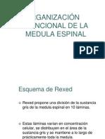 ORGANIZACIÓN FUNCIONAL DE LA MEDULA ESPINAL.ppt