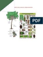 Caracteristicas de Las Ramas Laterales de Pinus