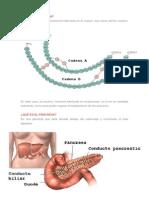 Insulina y Pancreas