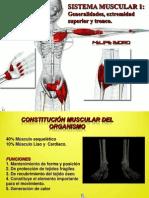 Muscular Superior