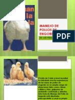Manejo de Pollos de Engorde