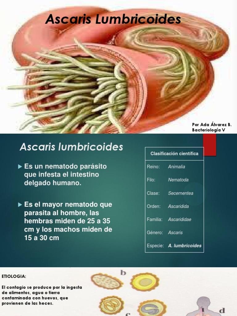 lumbricoides significado