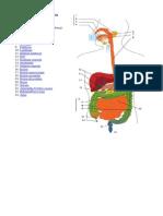 Diagram Sistem Pencernaan