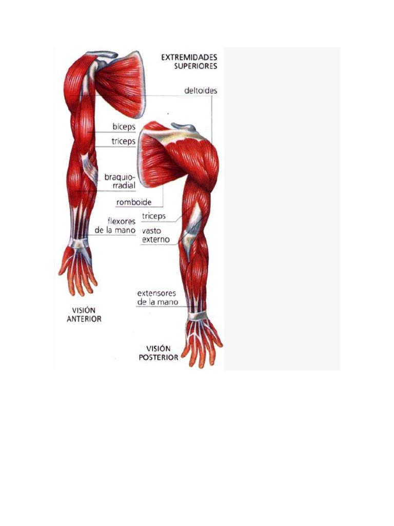 Musculos de Las Extremidades Superior E Inferior