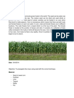 Aiman Sweet Corn Report
