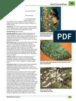 Eunoymus Scale Insect
