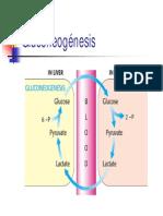 GLUCONEOGENESIS (1)