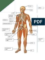 Esqueleto Segmentos Corporales
