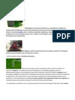 Wheatgrass Intrucciones y Usos
