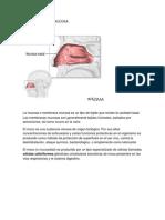 Formacion de La Mucosa Selene 6