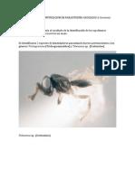 Reporte Escrito Identificacion de Parasitoides Asociados a Carmenta Foraseminis