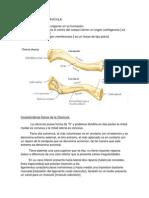Osteología de Clavicula