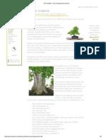 Arce Tridente - Acer Buergeranium Bonsai