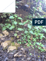 "Articulo Cientifico Solanum Americanum ""mancapacha"" , THE ANATOMY AND MORPHOLOGICAL STUDY Solanum americanum ""mancapacha"
