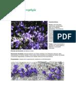 Poligala microphyla