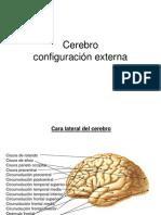 Cerebro Ycerebelo Configuracin Externallll