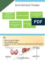Función de La Hormona Tiroidea
