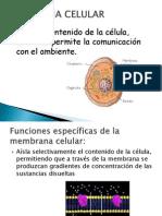 membranacelularestructurayfuncin-110522160549-phpapp02