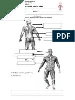 Guía_SistemaMuscular