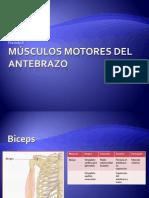 11 Músculos motores del antebrazo
