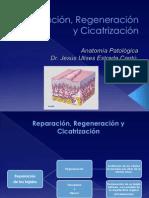 Reparación, Regeneración y Cicatrización (2)