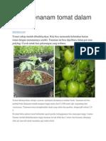 Cara Menanam Tomat Dalam Polybag