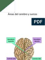 Áreas Del Cerebro y Surcos