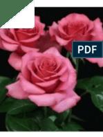Arlington Rose Foundation Rose Show 2014