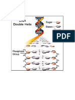 Dna Structure Rna Stracture