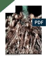 Akar tanaman cabai yang terkena puru akar.docx