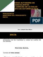 ANATOMIA DEL PERIODONTO ENCIA.odp
