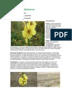 Verbascum blattaria.pdf